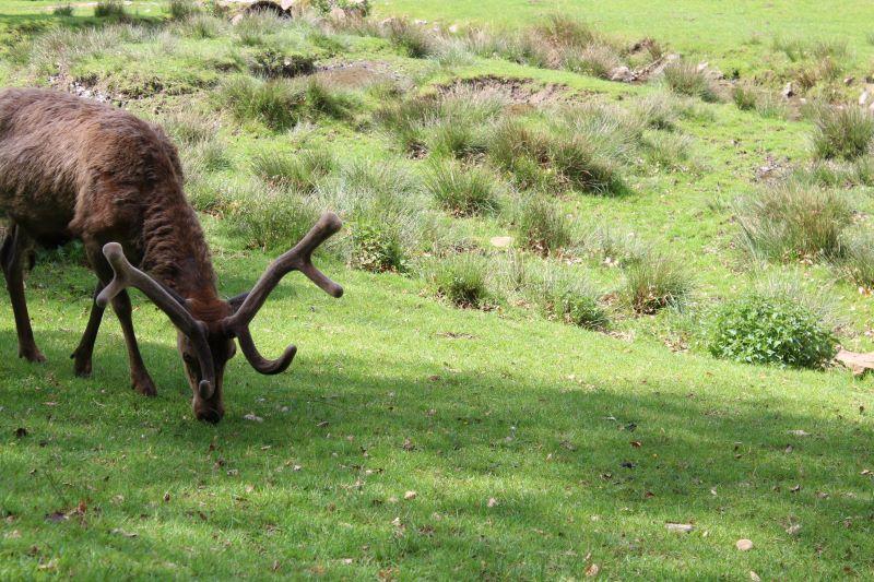 ein Hirsch- Un ciervo
